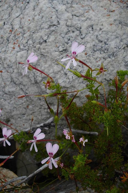 Pelargonium fruticosum 3, Swartberg Mountains. Credit: Judd Kirkel Welwitsch.