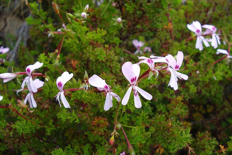 Pelargonium fruticosum 4, Swartberg Mountains. Credit: Judd Kirkel Welwitsch.