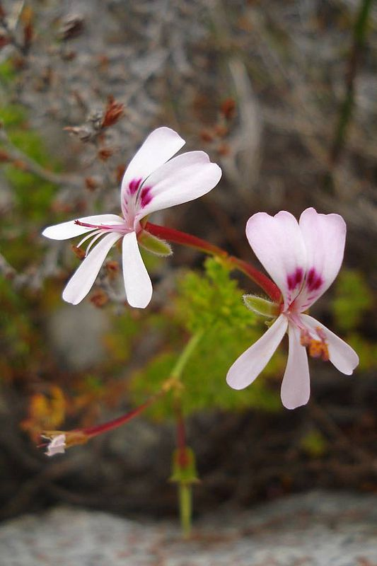 Pelargonium fruticosum 5, Swartberg Mountains. Credit: Judd Kirkel Welwitsch.