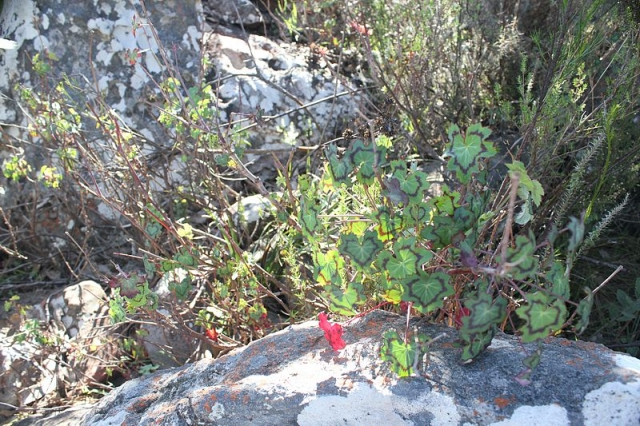 Pelargonium grandiflorum, Groot Winterhoek. Credit: Matija Strlic.