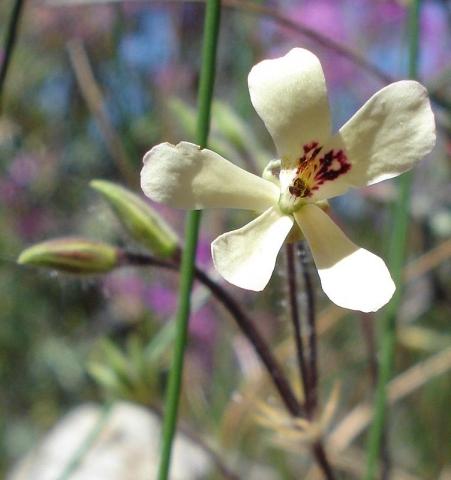 Pelargonium ladysmithianum 1, De Rust. Credit: Judd Kirkel Welwitsch.