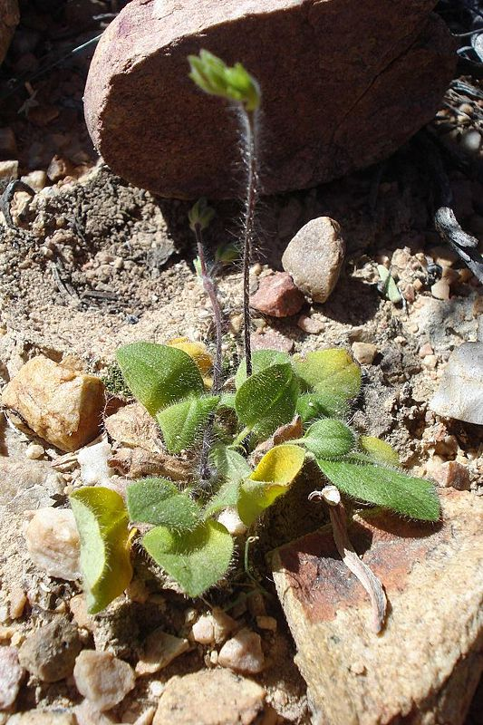 Pelargonium ladysmithianum 2, De Rust. Credit: Judd Kirkel Welwitsch.