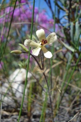 Pelargonium ladysmithianum 3, De Rust. Credit: Judd Kirkel Welwitsch.