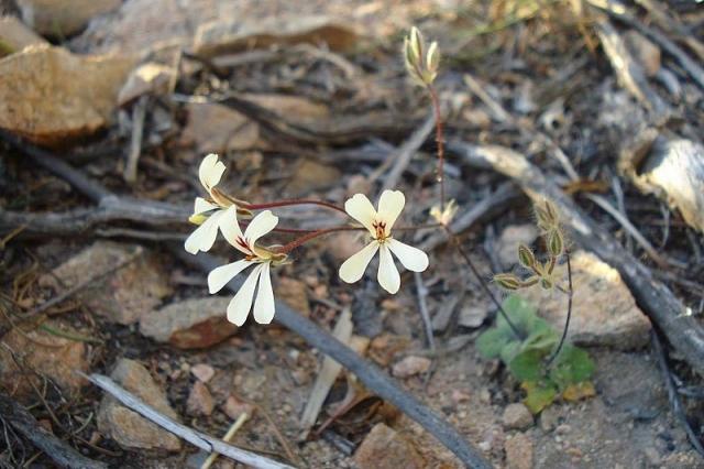Pelargonium ladysmithianum 4, De Rust. Credit: Judd Kirkel Welwitsch.