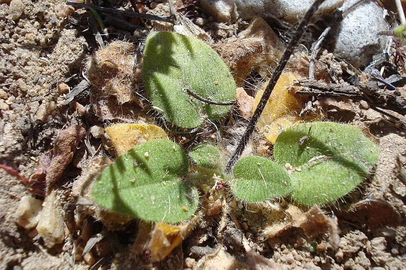 Pelargonium ladysmithianum 5, De Rust. Credit: Judd Kirkel Welwitsch.
