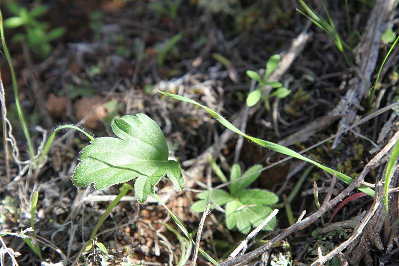 Pelargonium montaguense, Robertson. Credit Matija Strlic.
