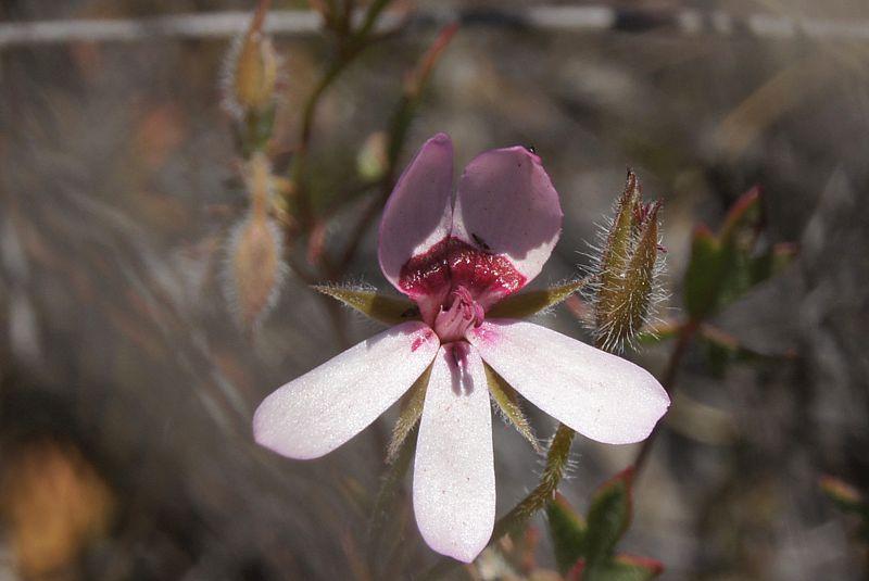 Pelargonium ocellatum 1. Credit Elena Ioganson.