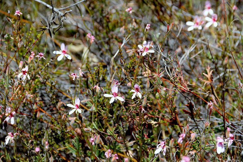 Pelargonium ocellatum 2. Credit Elena Ioganson.