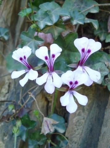 Pelargonium peltatum 1, Swartberg. Credit: Judd Kirkel Welwitsch.