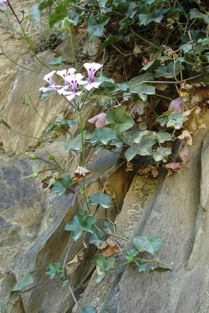 Pelargonium peltatum 2, Swartberg. Credit: Judd Kirkel Welwitsch.