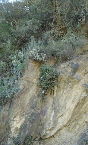 Pelargonium peltatum 3, Swartberg. Credit: Judd Kirkel Welwitsch.