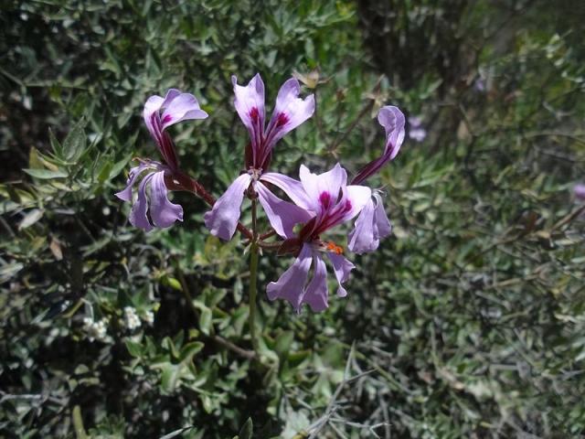 Pelargonium peltatum, Ladismith. Credit Jan Movitz.