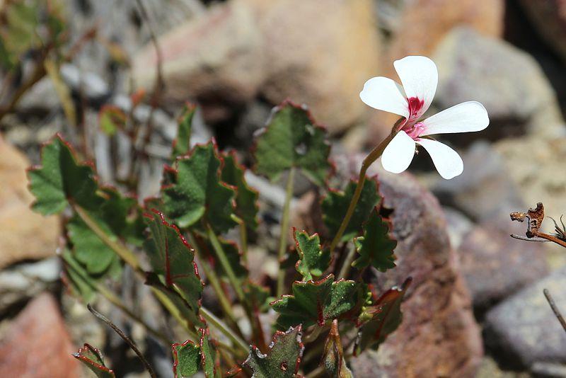 Pelargonium setulosum 1. Credit Elena Ioganson.