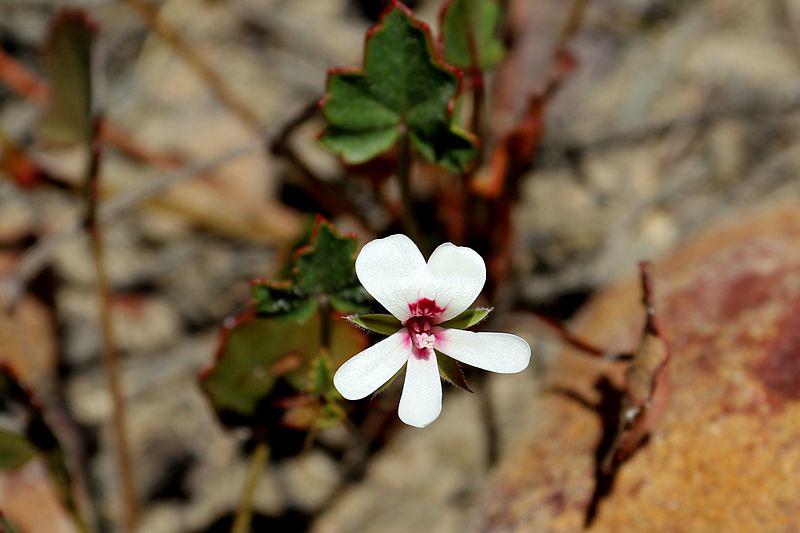 Pelargonium setulosum 3. Credit Elena Ioganson.