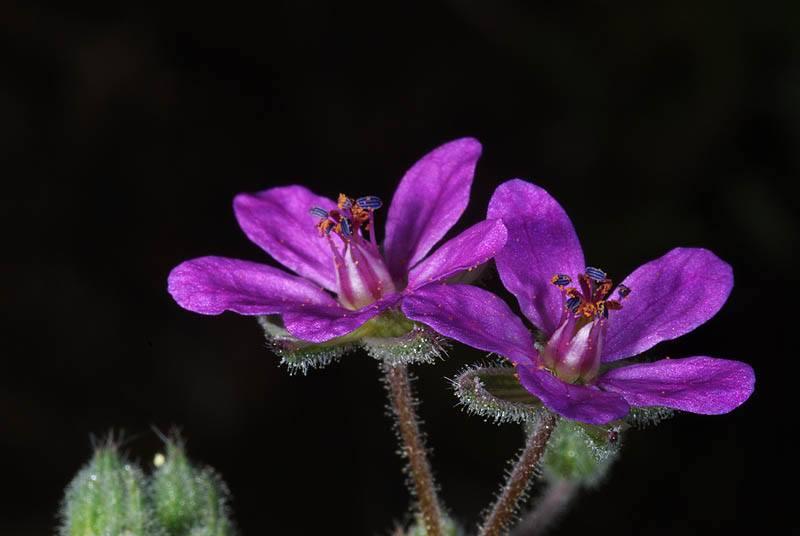 Erodium malacoides 3, Israel, Credit Ori Fragman-Sapir.