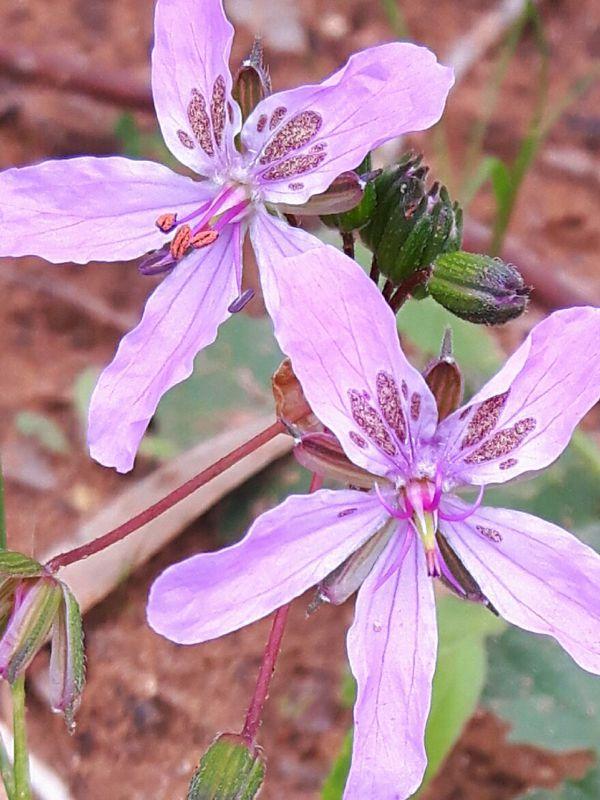Erodium munbyanum 1, Algeria. Credit Emilio Esteban-Infantes.