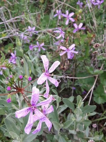 Erodium munbyanum 3, Algeria. Credit Emilio Esteban-Infantes.