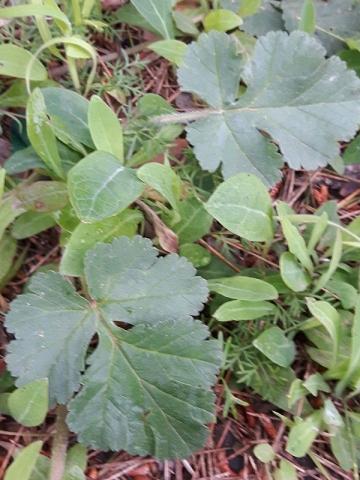 Erodium munbyanum 5, Algeria. Credit Emilio Esteban-Infantes.