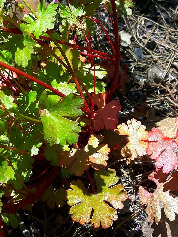 Geranium lucidum 2, Toledo, Spain. Credit Emilio Esteban-Infantes.
