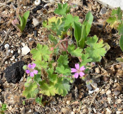 Geranium molle, Parc National des Calanques, France. Credit Jean-Pierre Piquet.