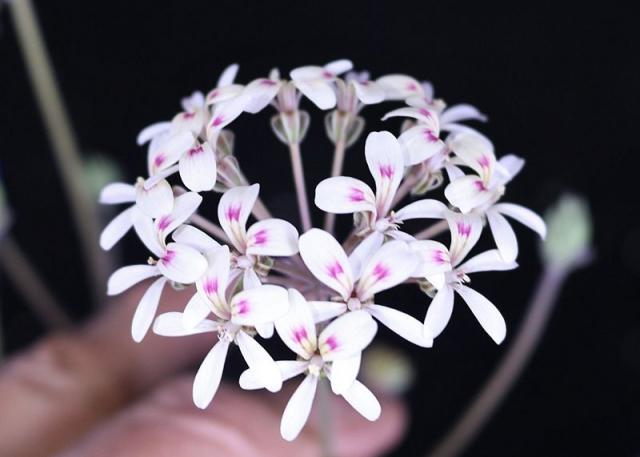 P. oblongatum x P. radicatum. Credit Peter Liekkio.