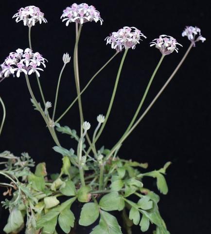 P. ochroleucum x P. petroselinifolium 1. Credit Peter Liekkio.