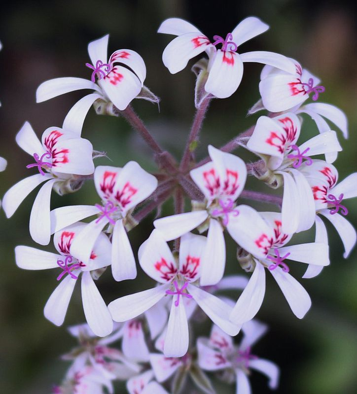 P. ochroleucum x P. petroselinifolium 2. Credit Peter Liekkio.