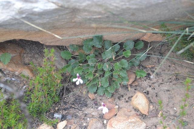 Pelargonium burgerianum 3, Burgers Pass. Credit Fanie Avenant.
