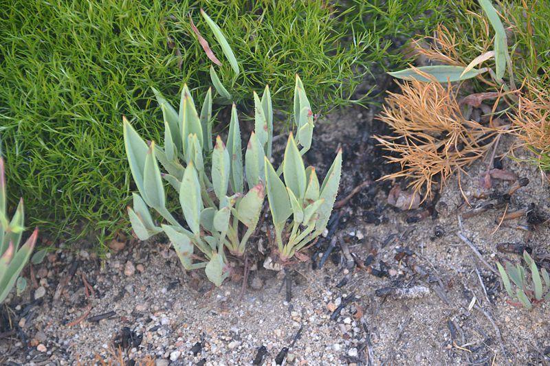 Pelargonium lanceolatum 1. Credit Fanie Avenant.