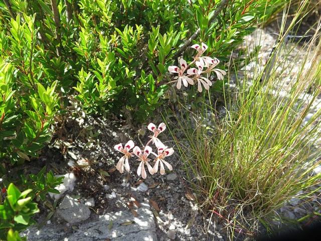 Pelargonium pinnatum 4, Caledon. Credit Jan Movitz.