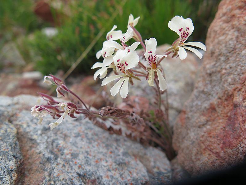 Pelargonium pinnatum 5, Caledon. Credit Jan Movitz.