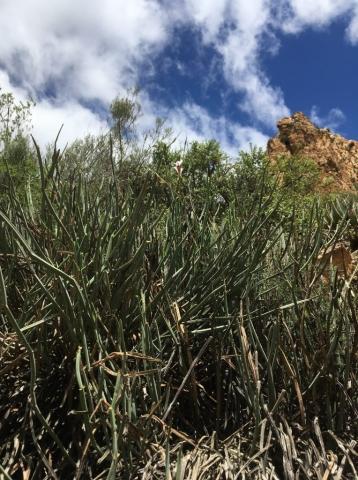 Pelargonium tetragonum 1, Baviaanskloof. Credit Erica Haederli.