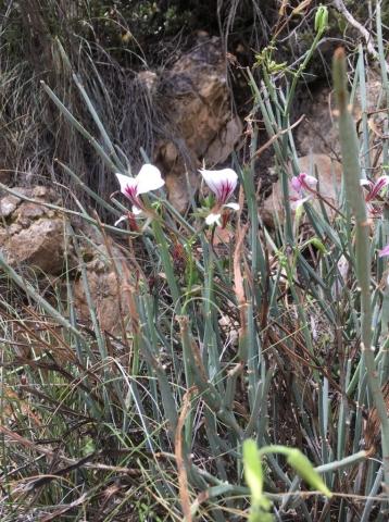Pelargonium tetragonum 3, Baviaanskloof. Credit Erica Haederli.