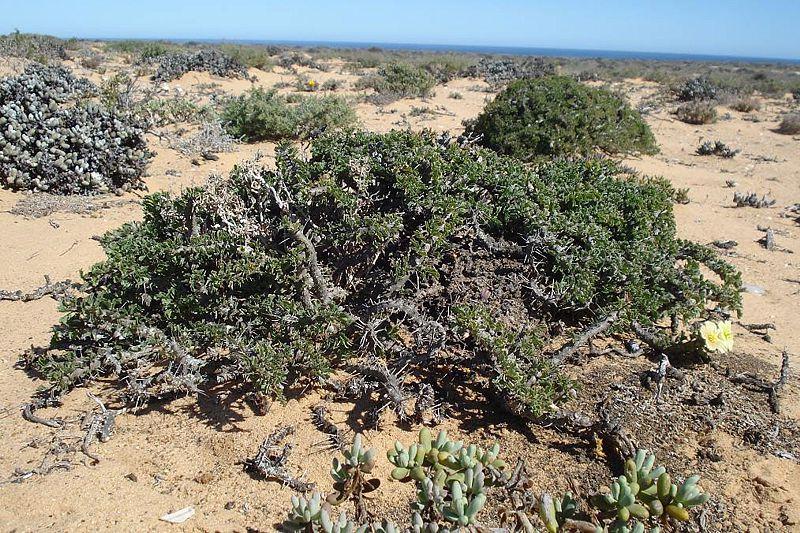 Sarcocaulon ciliatum 1, Kleinsee. Credit Judd Kirkel Welwitsch.