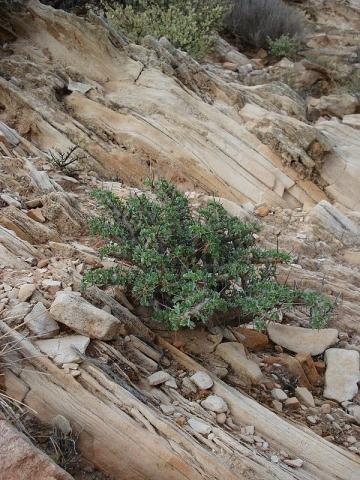 Sarcocaulon ciliatum 1, near Eksteenfontein, Richtersveld. Credit Judd Kirkel Welwitsch.