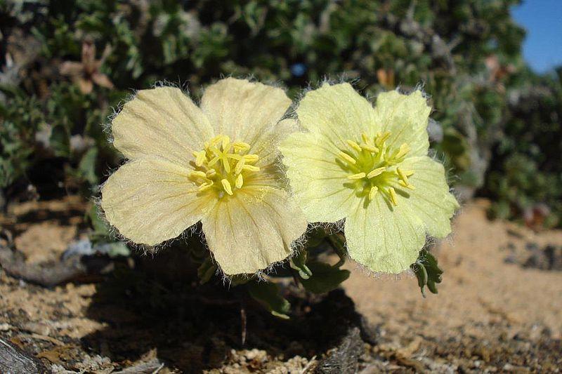 Sarcocaulon ciliatum 2, Kleinsee. Credit Judd Kirkel Welwitsch.