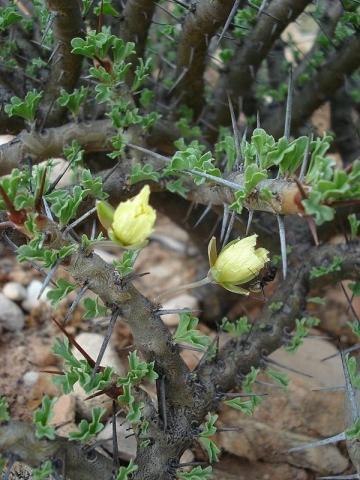Sarcocaulon ciliatum 3, near Eksteenfontein, Richtersveld. Credit Judd Kirkel Welwitsch.