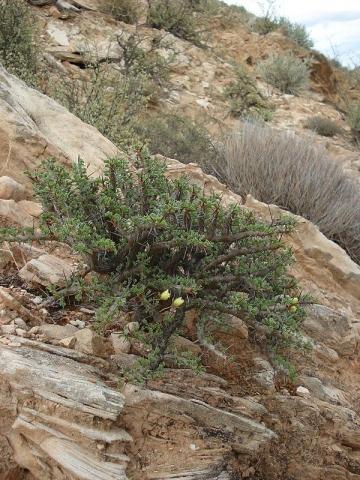 Sarcocaulon ciliatum 4, near Eksteenfontein, Richtersveld. Credit Judd Kirkel Welwitsch.