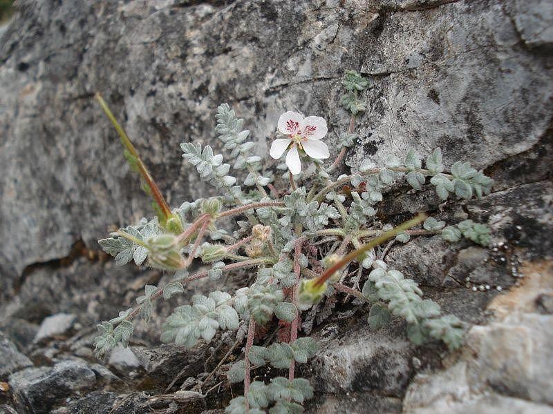 Erodium astragaloides 1. Credit www.fotoseimagenes.net