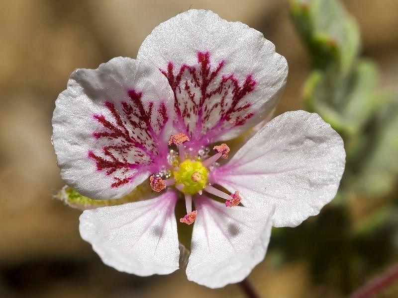 Erodium astragaloides 2. Credit www.fotoseimagenes.net