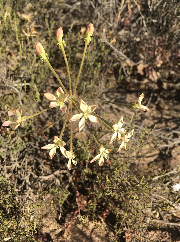 Pelargonium pillansii, Montagu. Credit Erica Haederli.