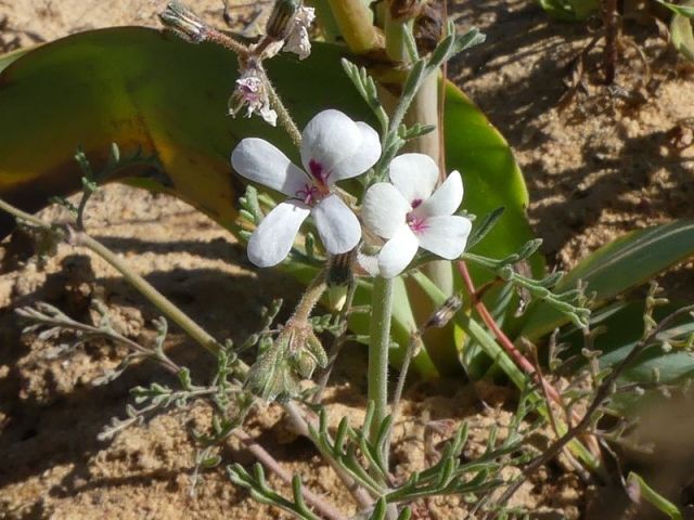 Pelargonium senecioides, Lutzville. Credit Jan Movitz.