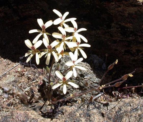 Pelargonium aridicola, Carolusberg. Credit Jean-Andre Audissou.