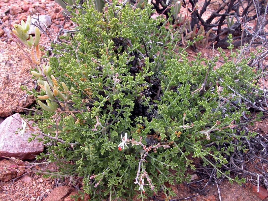 Pelargonium dasyphyllum 1, Spektakelpas. Credit Jean-Andre Audissou.