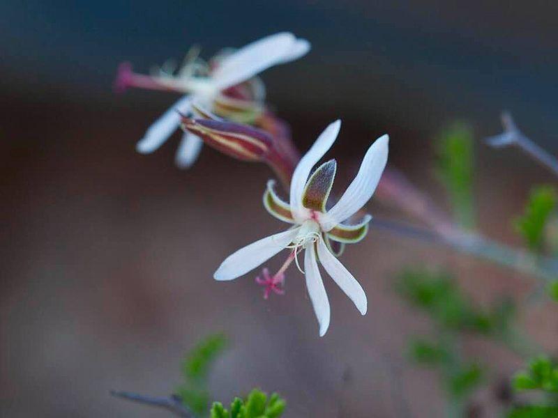 Pelargonium dasyphyllum 1, Umdaus. Credit Yael Bar Natan Gayer.