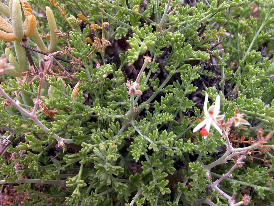 Pelargonium dasyphyllum 2, Spektakelpas. Credit Jean-Andre Audissou.