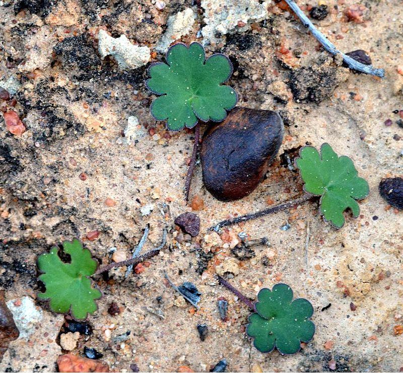 Pelargonium nephrophyllum 2, Vanrhynsdorp. Credit Jean-Andre Audissou.