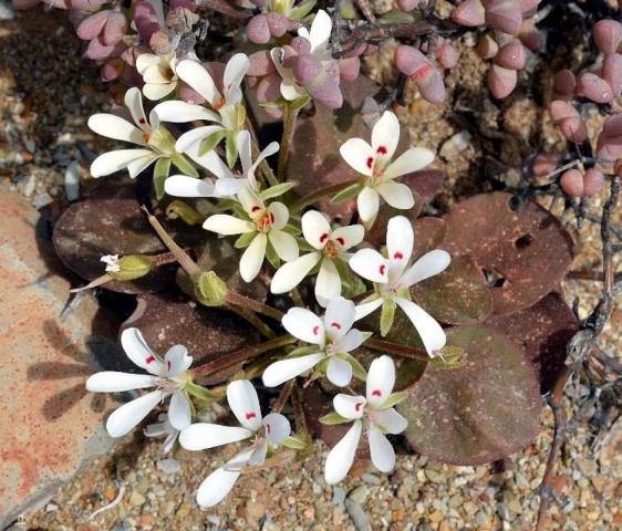 Pelargonium nervifolium, NW Matjiesfontein. Credit Jean-Andre Audissou