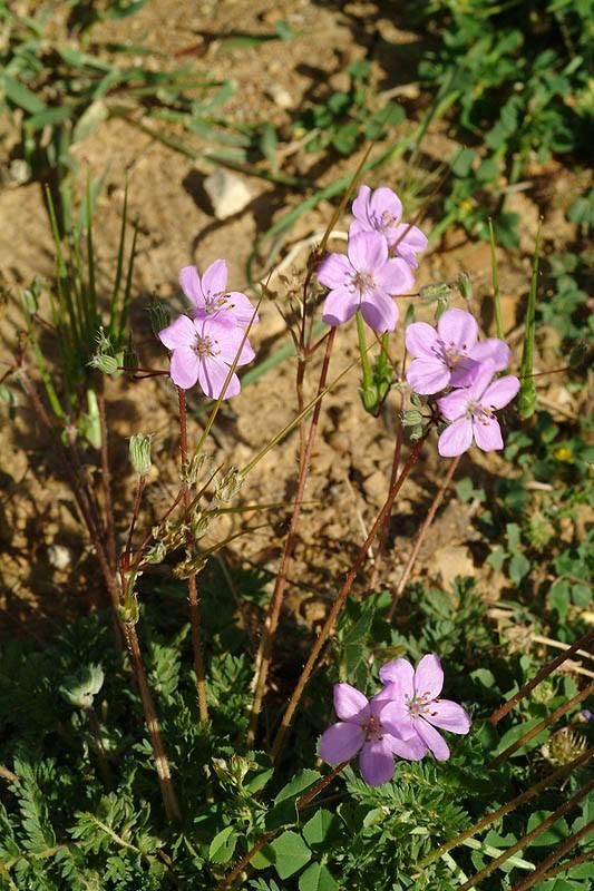 Erodium acaule 4, N Israel, Credit Ori Fragman-Sapir.