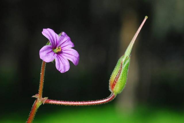 Erodium botrys 2, coastal Israel, Credit Ori Fragman-Sapir.